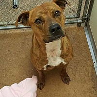 Pit Bull Terrier Mix Dog for adoption in Centerburg, Ohio - Skylar
