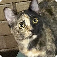 Domestic Shorthair Cat for adoption in Phoenix, Arizona - Penny Lane