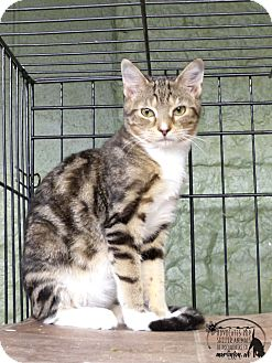 Domestic Shorthair Cat for adoption in Marlinton, West Virginia - Gidget--RESCUED!