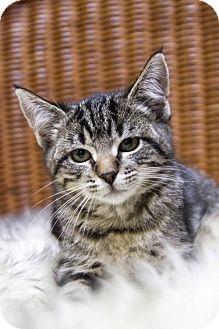 Domestic Shorthair Kitten for adoption in St. Louis Park, Minnesota - Stripes