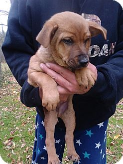 Australian Cattle Dog/Rat Terrier Mix Puppy for adoption in Kendall, New York - Dozer