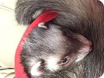Ferret for adoption in Dedham, Massachusetts - SUNNY