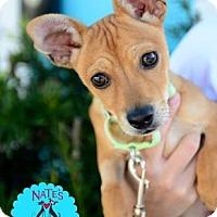 Adopt A Pet :: Ace Ventura - Bradenton, FL