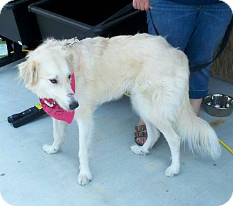 Great Pyrenees Dog for adoption in Ascutney, Vermont - Daphne