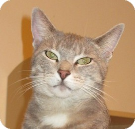 Domestic Shorthair Cat for adoption in Hamilton, New Jersey - SYLVIA - 2012