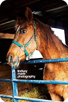 Quarterhorse Mix for adoption in Carey, Ohio - LOKI