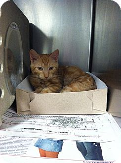 Domestic Shorthair Kitten for adoption in Brooklyn, New York - Timmy