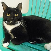 Adopt A Pet :: Tux - Reston, VA