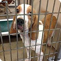 Adopt A Pet :: Rudy - Norman, OK