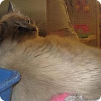 Siamese Cat for adoption in Logan, Utah - Snowflake