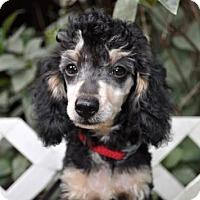 Adopt A Pet :: FUZZY - Elk River, MN
