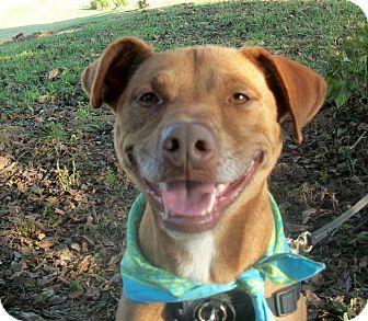 Labrador Retriever/Labrador Retriever Mix Dog for adoption in Paducah, Kentucky - Tyson