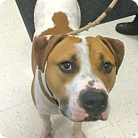 Adopt A Pet :: Kobe in CT - Manchester, CT