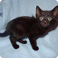 Adopt A Pet :: Viktor - Bentonville, AR