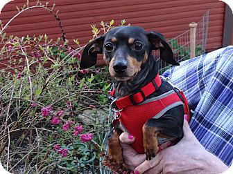 Dachshund Dog for adoption in Portland, Oregon - BUDDY