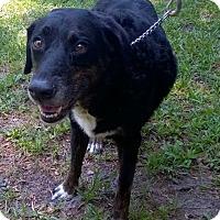 Adopt A Pet :: Taz - Orlando, FL