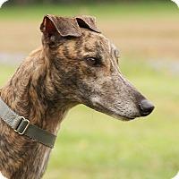 Greyhound Dog for adoption in Portland, Oregon - Amos