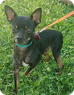 Chihuahua Mix Dog for adoption in Aurora, Illinois - Max