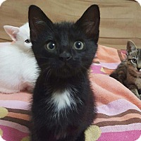 Domestic Shorthair Kitten for adoption in Huntsville, Alabama - Ember
