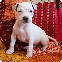 American Pit Bull Terrier/American Staffordshire Terrier Mix Puppy for adoption in santa monica, California - Lily