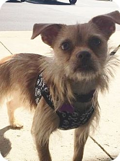 Cairn Terrier/Yorkie, Yorkshire Terrier Mix Dog for adoption in Mentor, Ohio - ROMEO** 1 year old LOVES DOGS, KIDS, EVERYONE