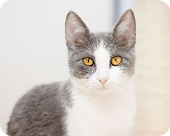 Domestic Shorthair Kitten for adoption in Fountain Hills, Arizona - Storm