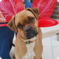 Adopt A Pet :: Puggle Jodi - Madison, AL