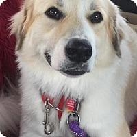 Adopt A Pet :: Sophie - Huntington Woods, MI