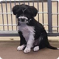 Adopt A Pet :: Kunkel - Flagstaff, AZ