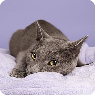 Domestic Shorthair Cat for adoption in Wilmington, Delaware - Zooka