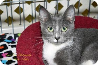 Domestic Shorthair Kitten for adoption in Norman, Oklahoma - Maurice