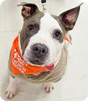 American Pit Bull Terrier Dog for adoption in Fredericksburg, Virginia - Rufus