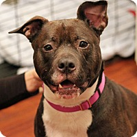 Labrador Retriever/American Staffordshire Terrier Mix Dog for adoption in Mount Laurel, New Jersey - Abbey