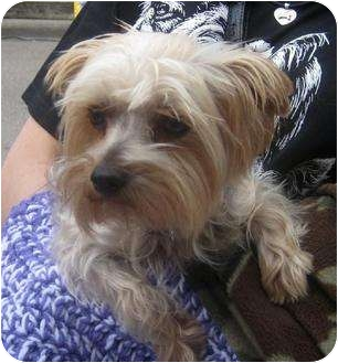 Yorkie, Yorkshire Terrier Dog for adoption in Conroe, Texas - Sparky