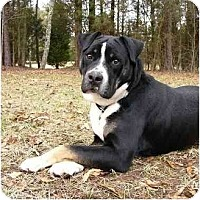 Adopt A Pet :: Sampson - Mocksville, NC