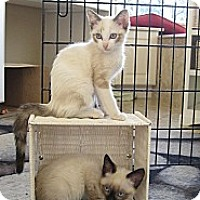 Adopt A Pet :: Siames kittens - Vero Beach, FL