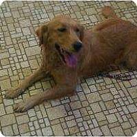 Adopt A Pet :: Nala - Denver, CO