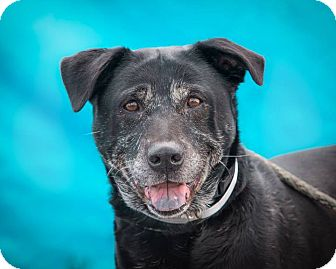 Labrador Retriever/Blue Heeler Mix Dog for adoption in Englewood, Colorado - Kane