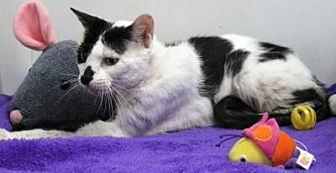 Domestic Shorthair Cat for adoption in Sebastian, Florida - Kissi