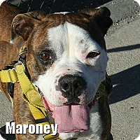 Adopt A Pet :: Maroney - Encino, CA