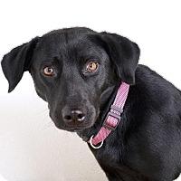 Adopt A Pet :: Midnight - Sudbury, MA