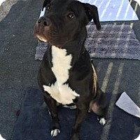 Pit Bull Terrier Mix Dog for adoption in Tucson, Arizona - Luna