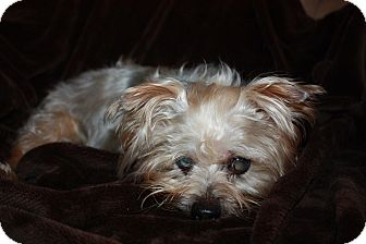 Yorkie, Yorkshire Terrier Dog for adoption in Statewide and National, Texas - Toby