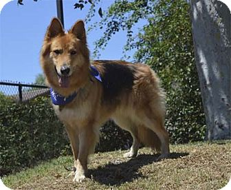 German Shepherd Dog/Collie Mix Dog for adoption in Downey, California - Leah