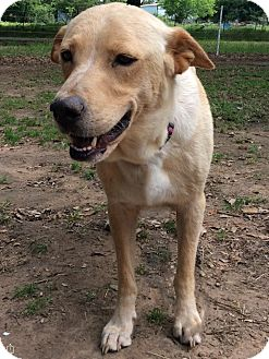 Labrador Retriever/German Shepherd Dog Mix Dog for adoption in Austin, Texas - Sandy