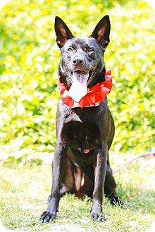 Labrador Retriever/Shepherd (Unknown Type) Mix Dog for adoption in Castro Valley, California - Lori