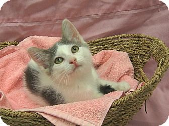 Domestic Shorthair Kitten for adoption in Redwood Falls, Minnesota - Mira