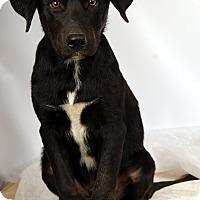 Adopt A Pet :: Jeremiah Lab Mix - St. Louis, MO
