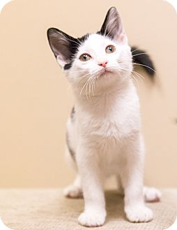 Domestic Shorthair Kitten for adoption in Chicago, Illinois - Rosemary