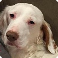 English Setter Dog for adoption in Pine Grove, Pennsylvania - DALLAS